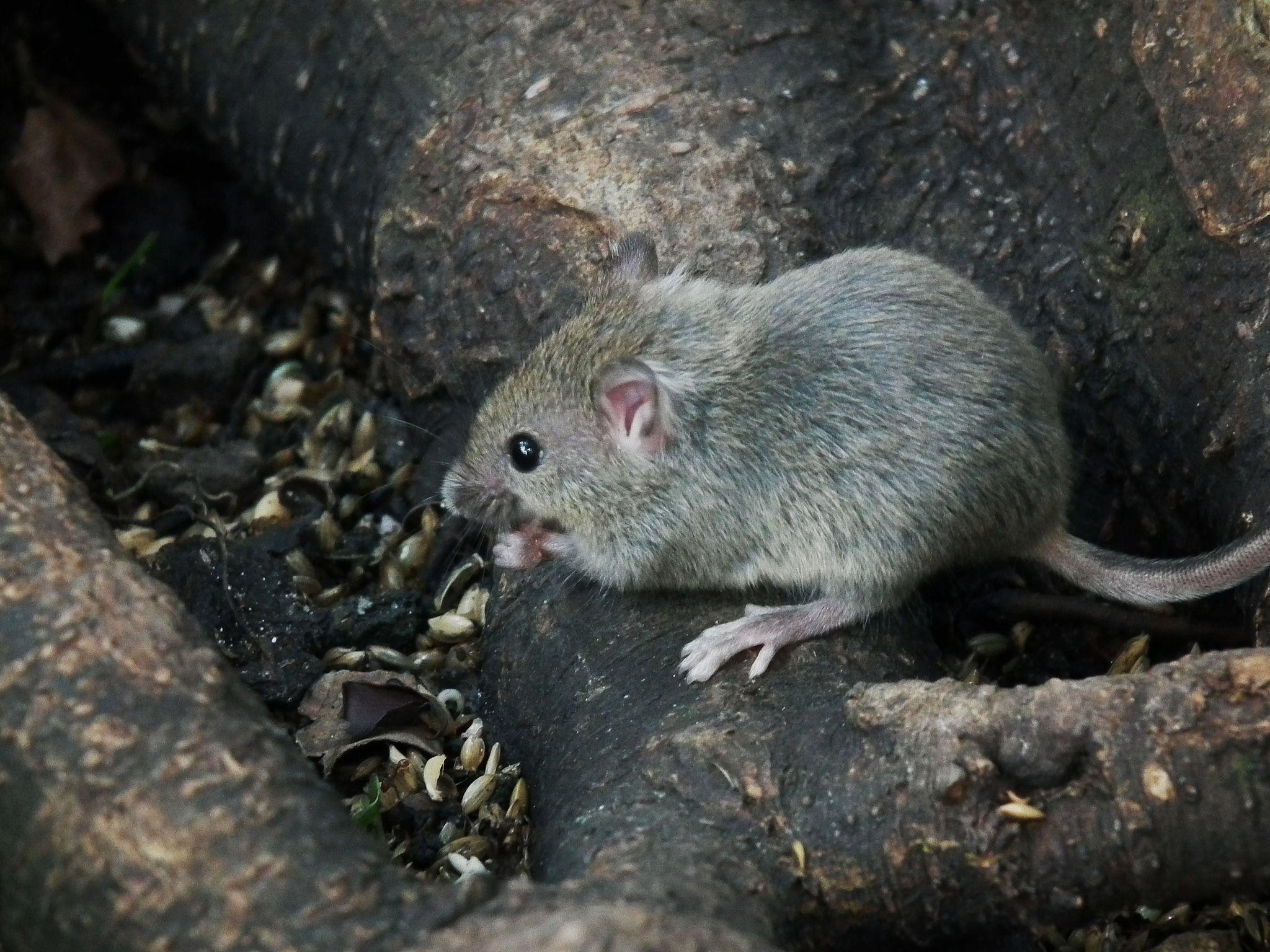 Los ratones j venes lloran para evitar ser violados - Como evitar los ratones ...