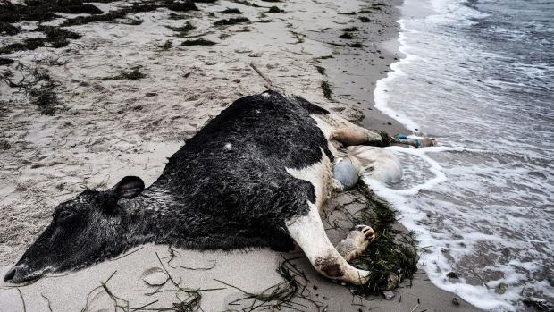Des vaches mutilées s'échouent en Suède Image